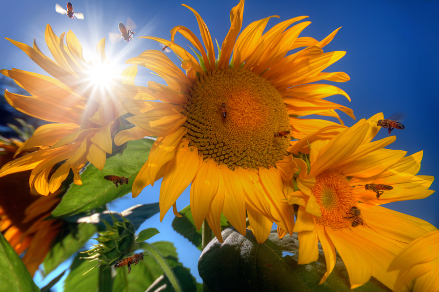 Many bees flying around sunflowers by William Lee