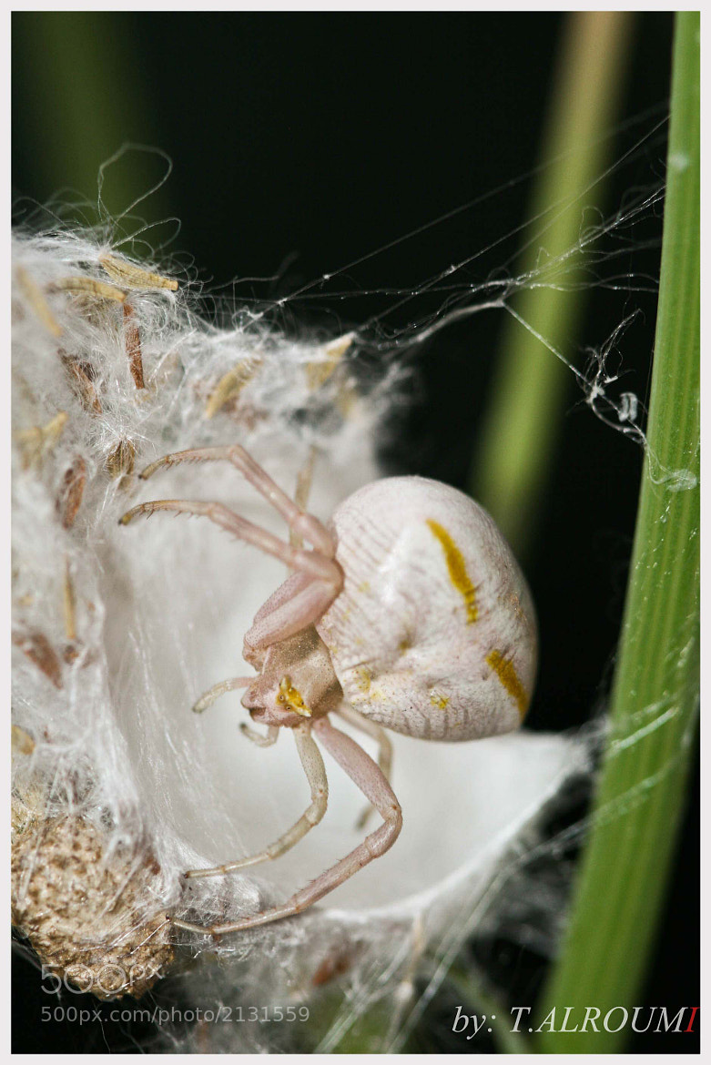 Photograph A grumpy white spider by Tasneem ALRoumi on 500px