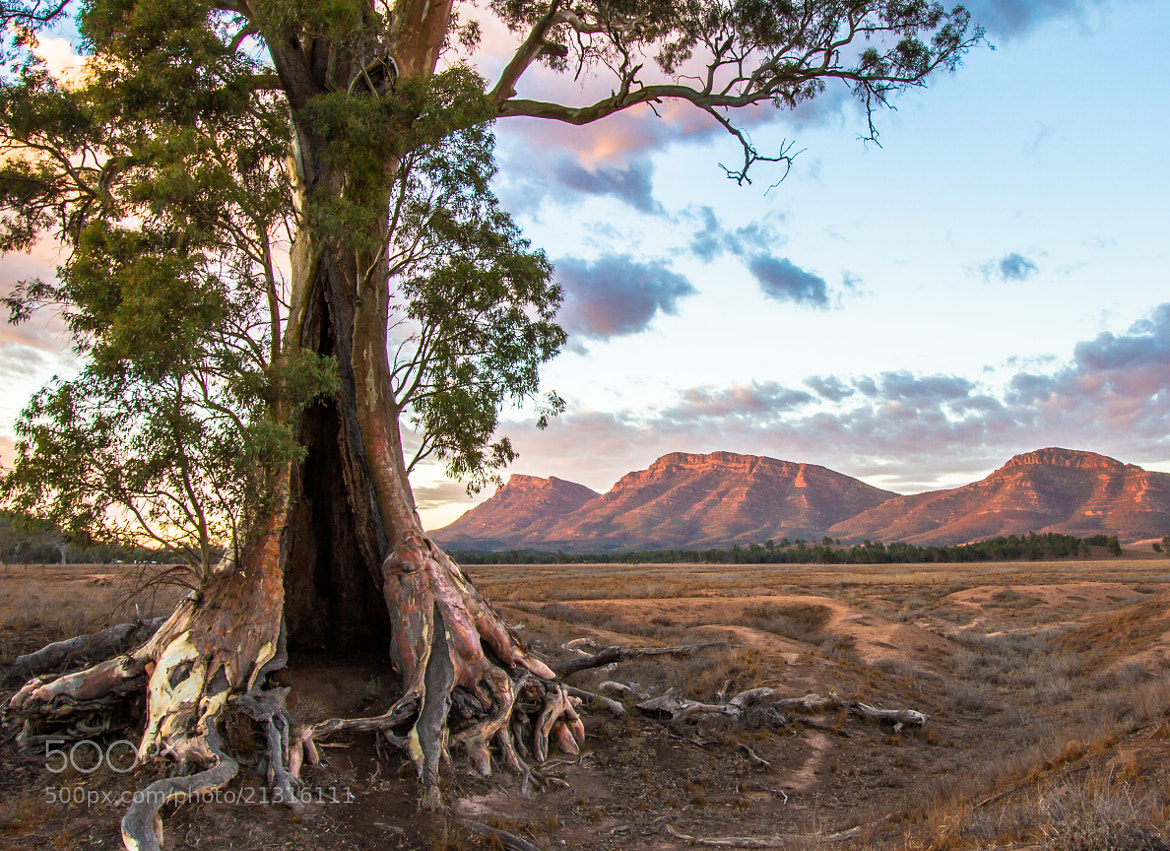 Photograph Cazneaux Tree, Flinders Ranges by Jacqui Barker on 500px