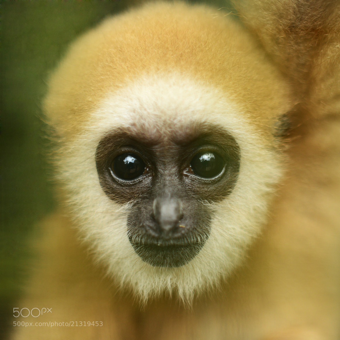 Photograph The lar Gibbon  by Fred Melot on 500px