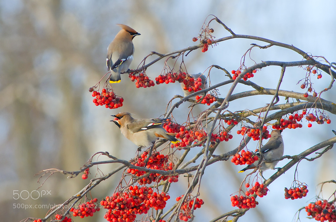 Photograph Waxwings by Dmitriy Golubev on 500px