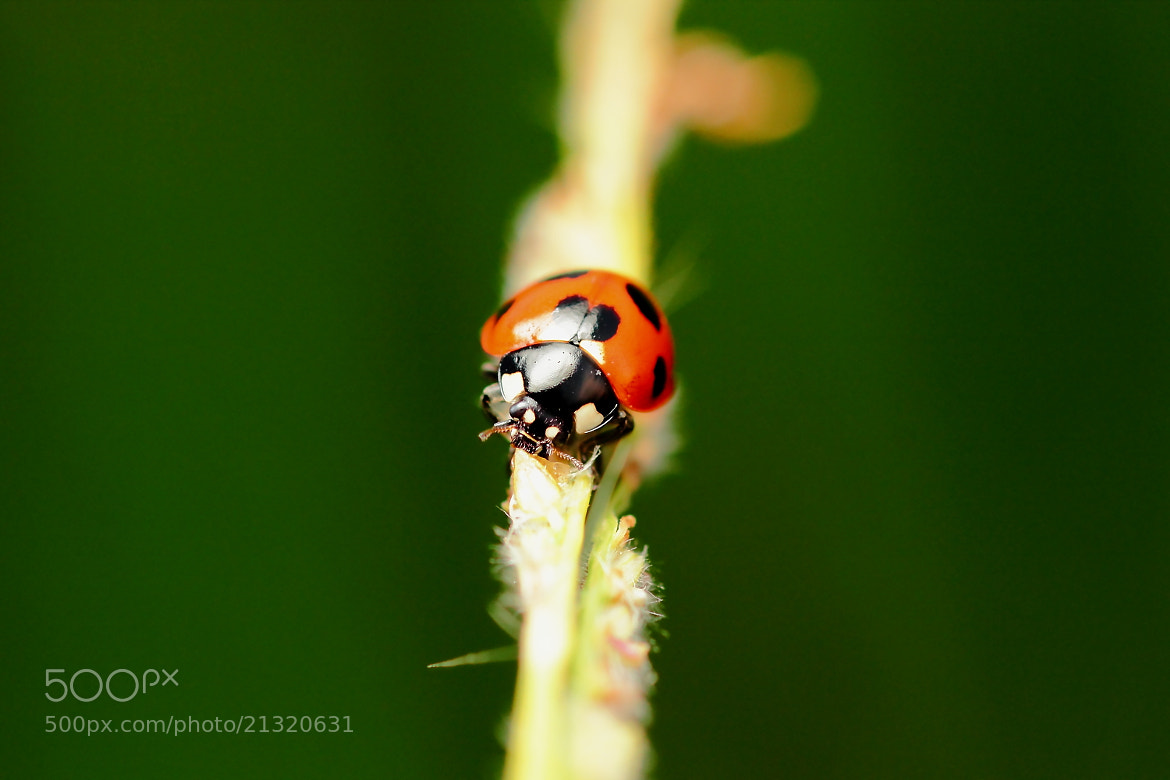 Photograph Lady.Bug. by OKAWA โอ๋กะหว้า. somchai on 500px