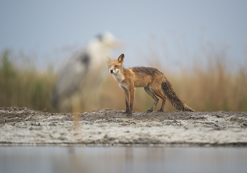 Photograph Red Fox with Blue Heron by Mirek Zítek on 500px