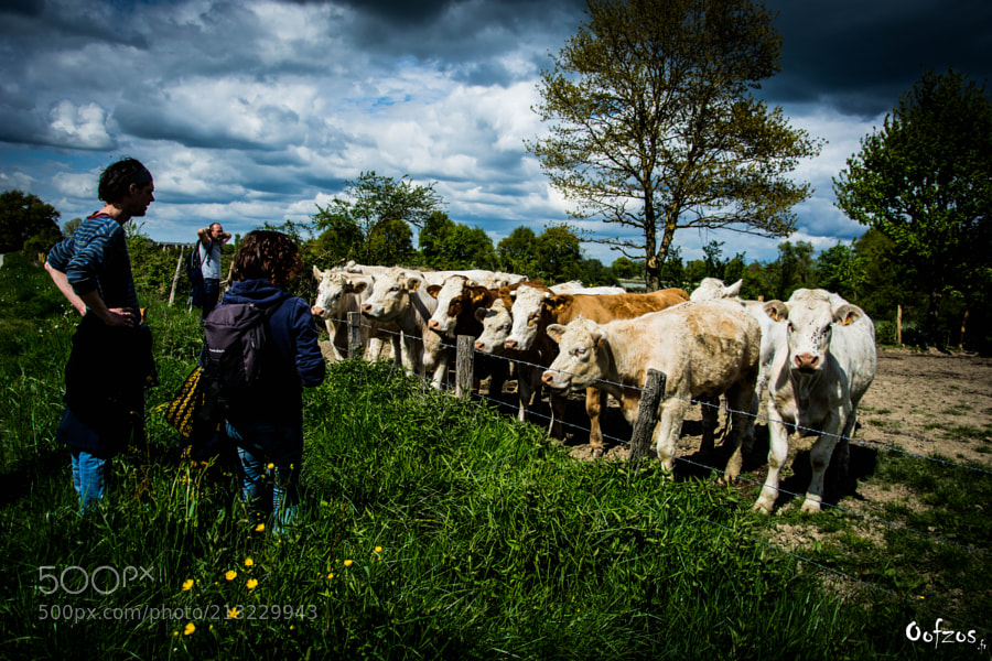 Friends with cows