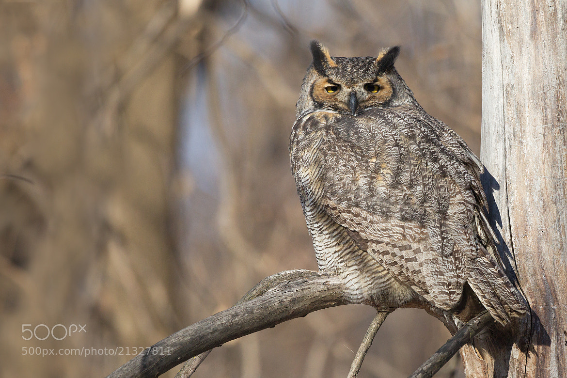 Photograph Great Horned Owl - Grand-Duc d'amérique by Michel Gauvin on 500px
