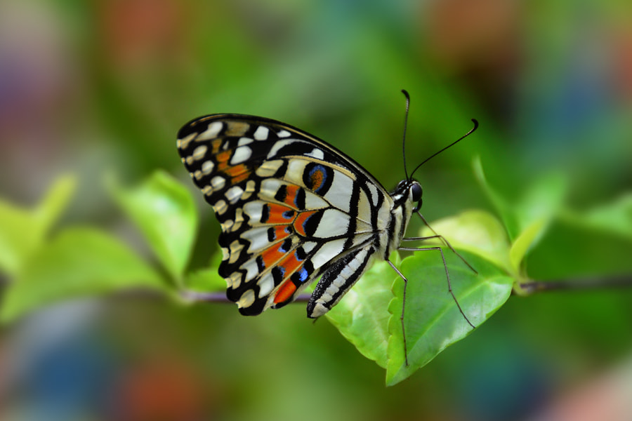 Photograph Butterfly by Khoo Boo Chuan on 500px