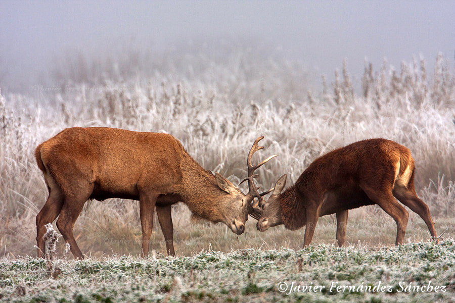 Photograph Pelea de ciervos by Javier Fernández Sánchez on 500px