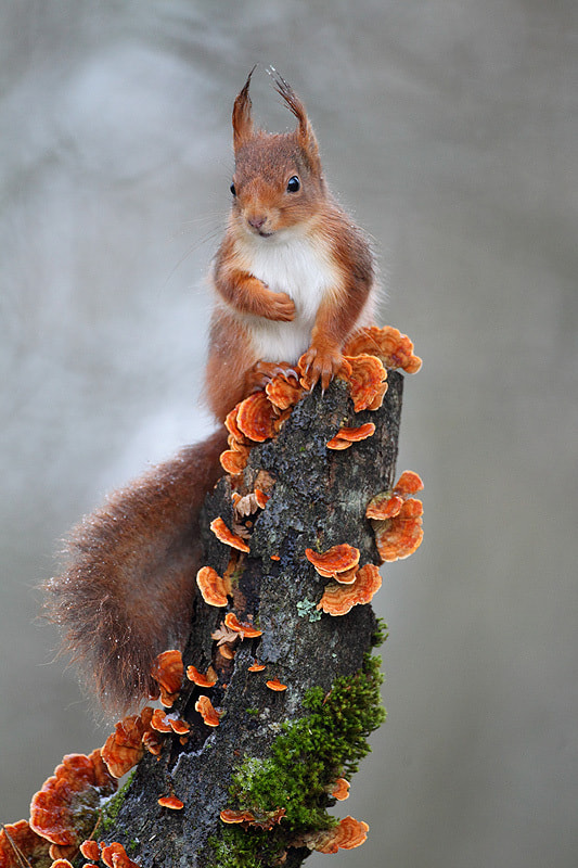 Photograph Red squirrel by Christophe Salin on 500px
