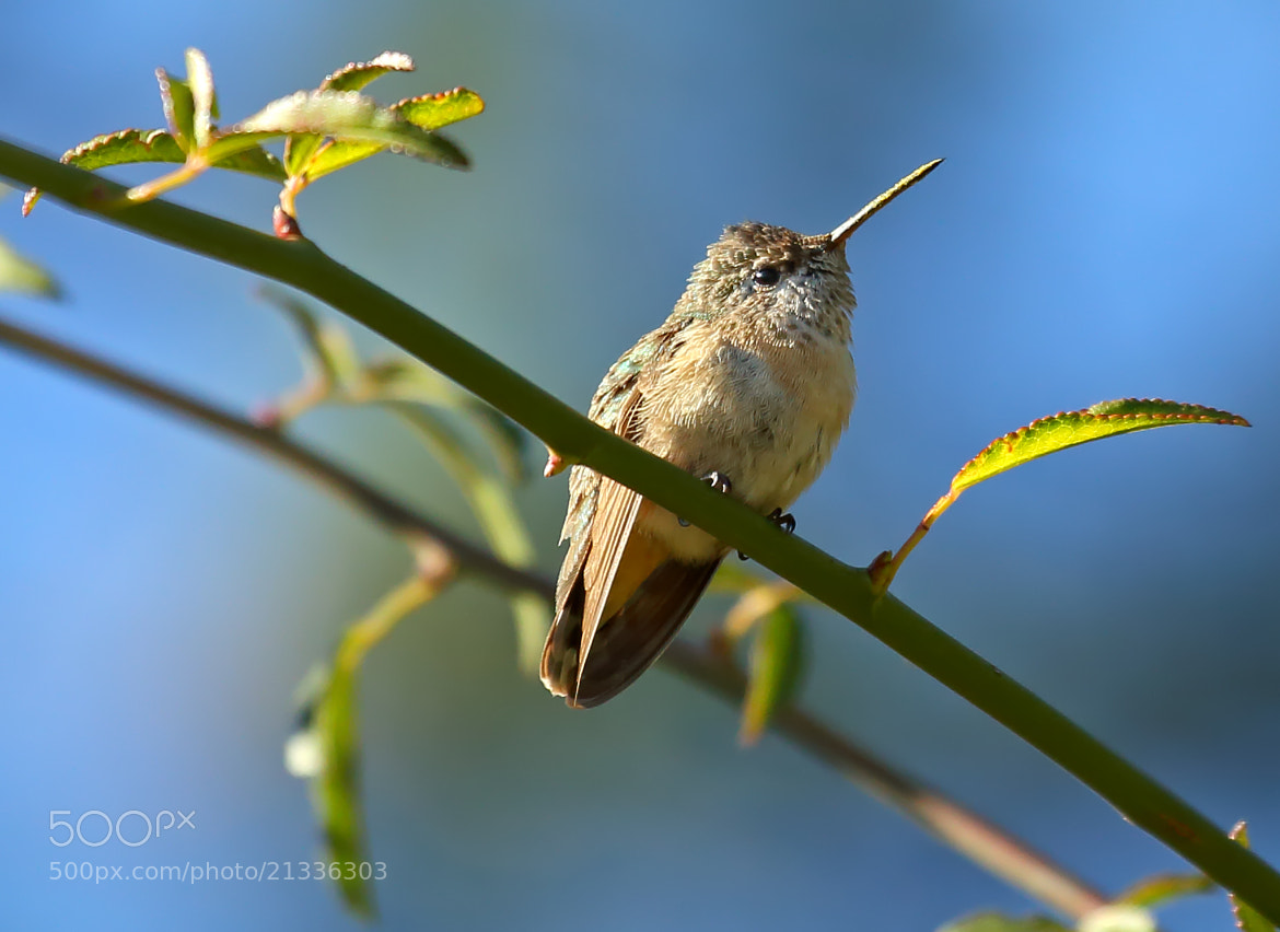 Photograph December Hummingbird by Lorraine Hudgins on 500px