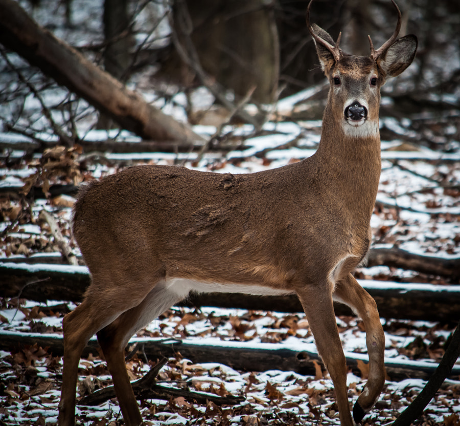 Young buck in Troy Michigan