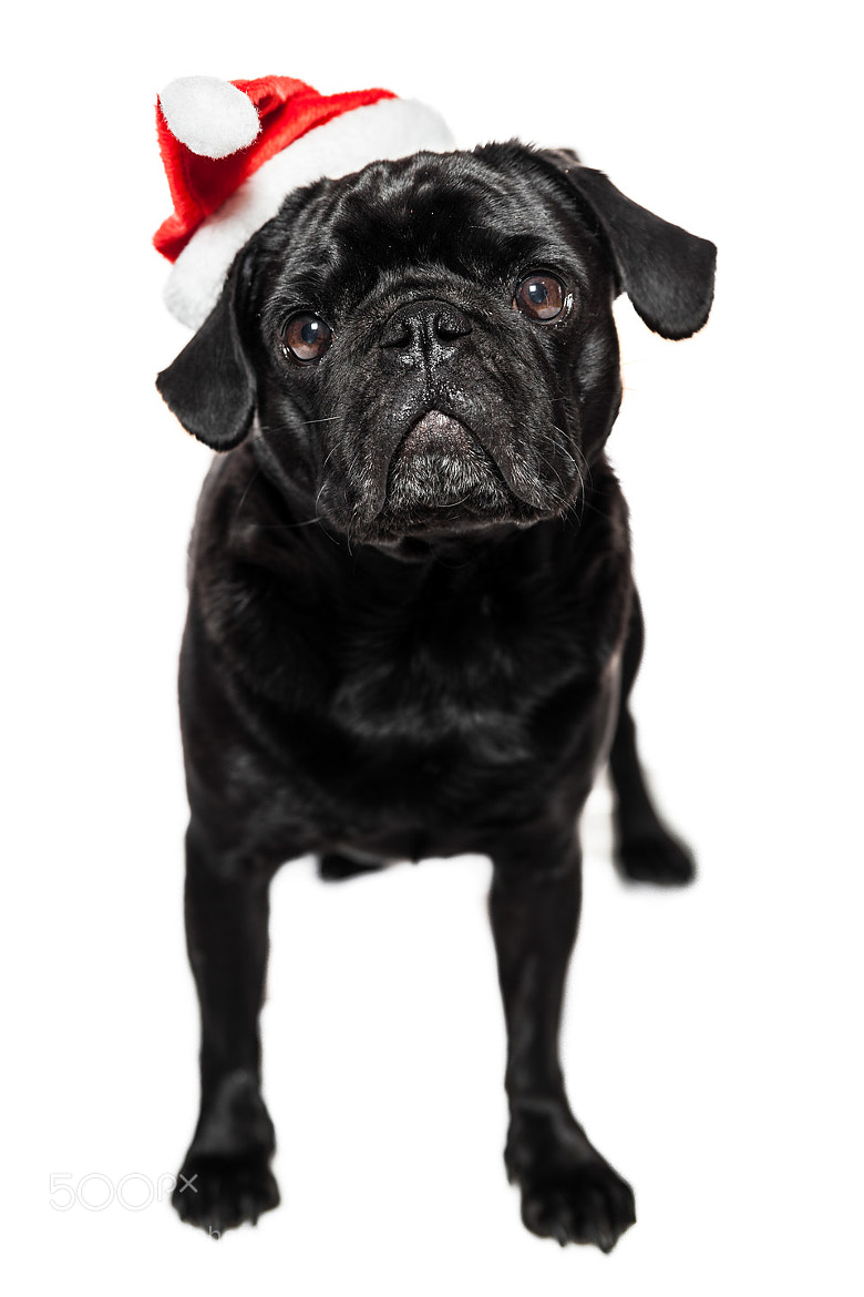 Photograph my pug Henry III by Marco Baum on 500px