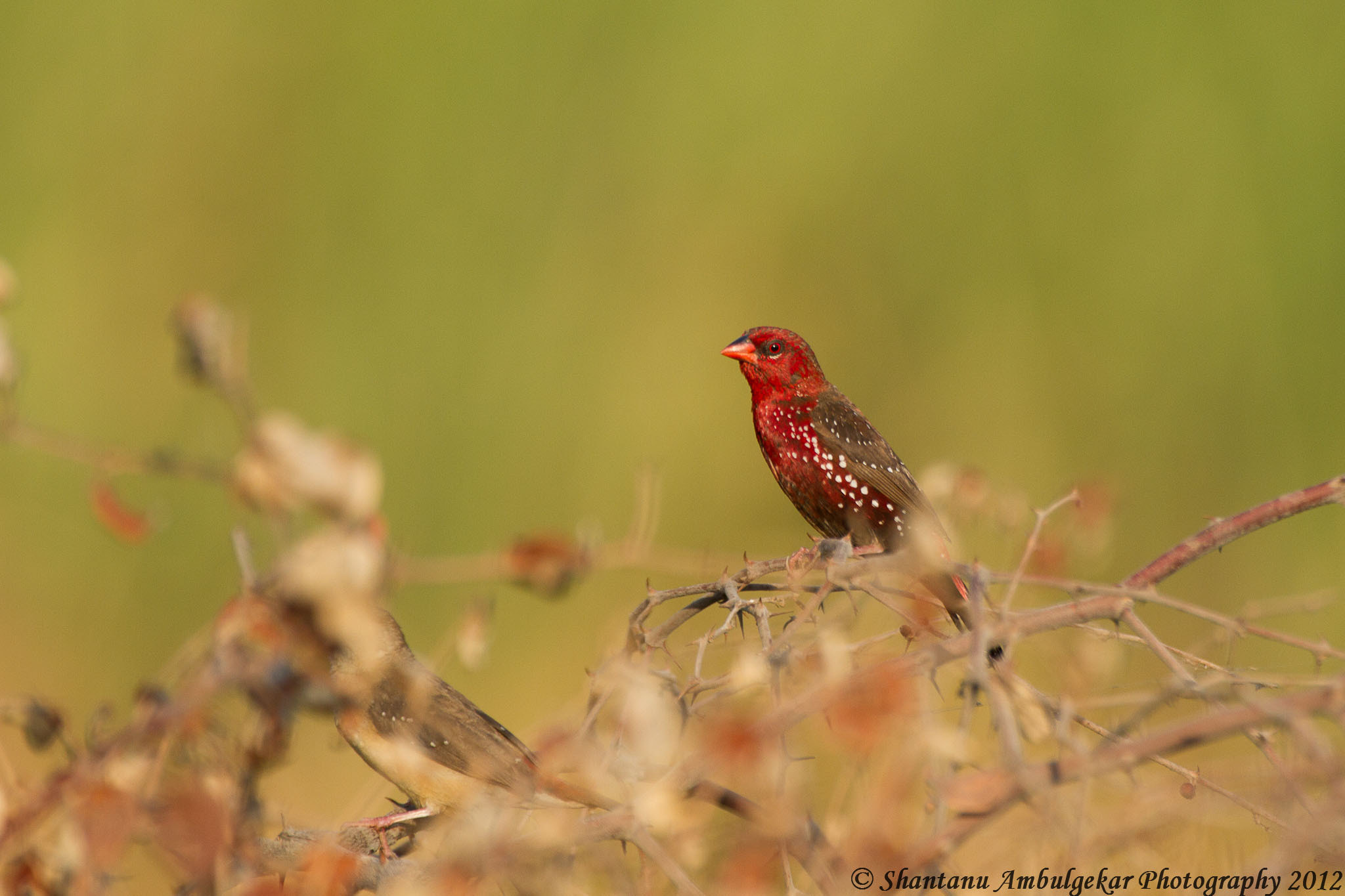 Photograph Red Munia or Red Avadhavat by Shantanu Ambulgekar on 500px