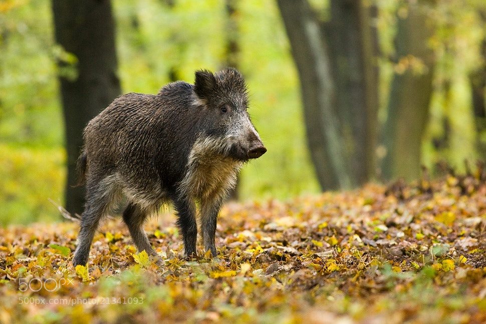Photograph Wild boar by Jakub Mrocek on 500px