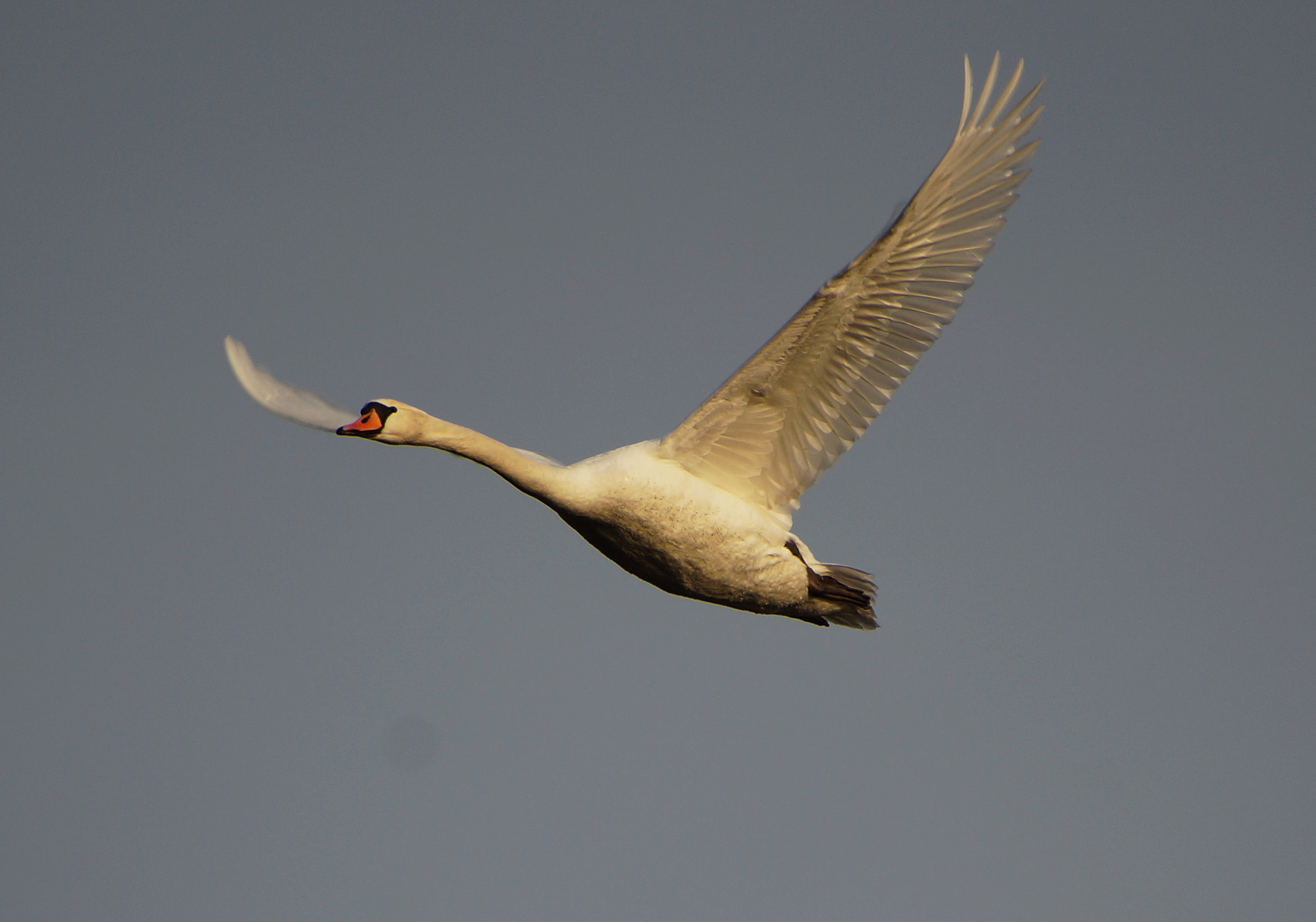 Photograph Flying Swan by Ralf Bessoth on 500px