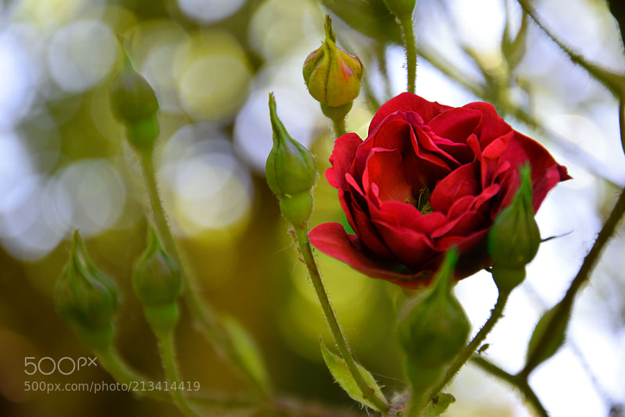 500px PlanPlume Photo - Red rose in my garden