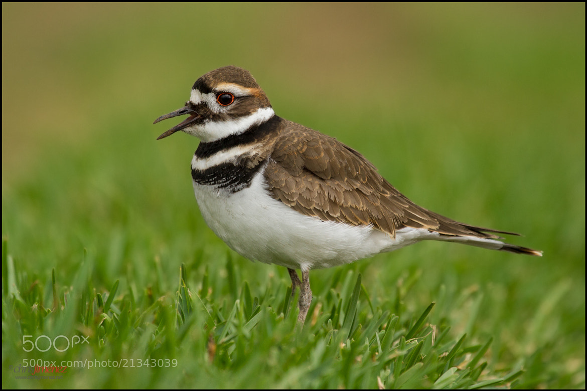 Photograph Killdeer by Chris Jimenez on 500px