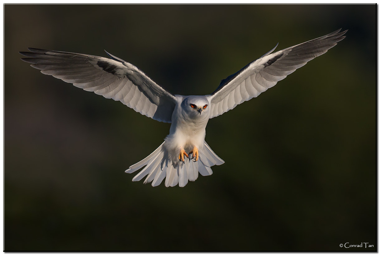 Photograph Whitetail Kite approach by Conrad Tan on 500px