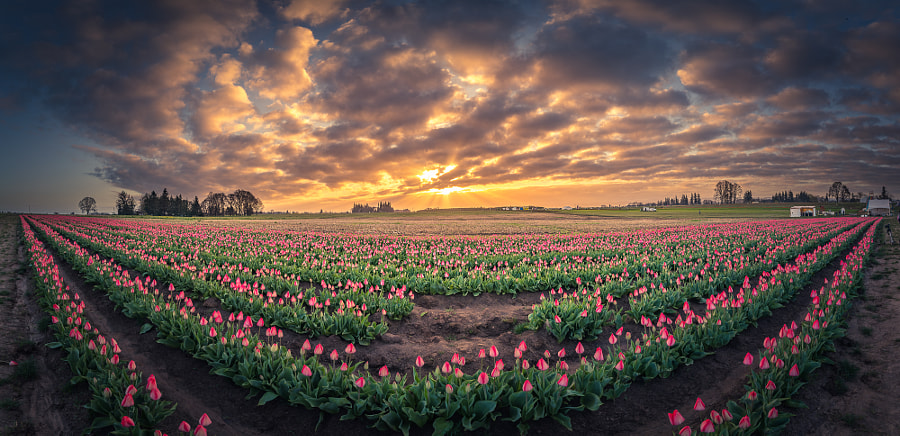180 degree view of sunrise over tulip field by William Lee