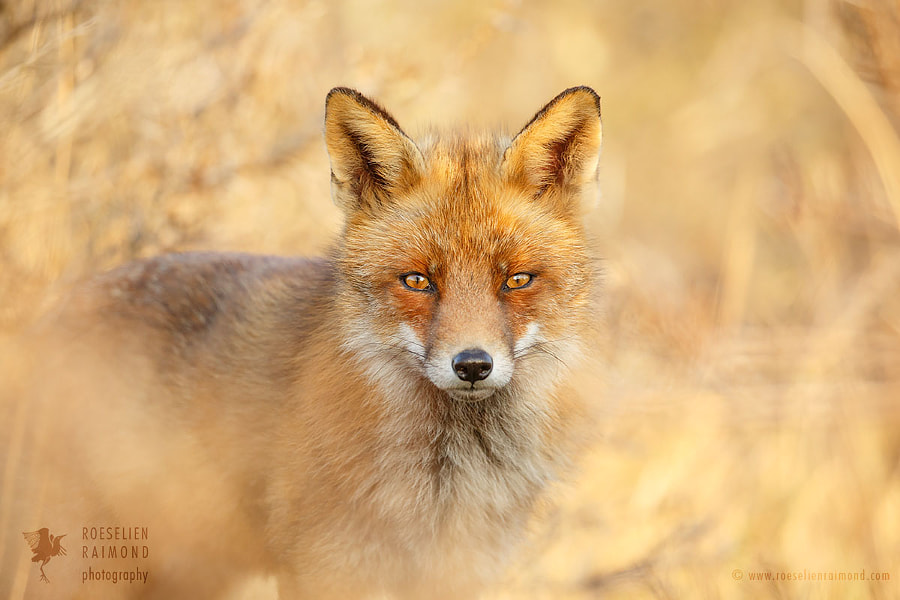 Räven by Roeselien Raimond