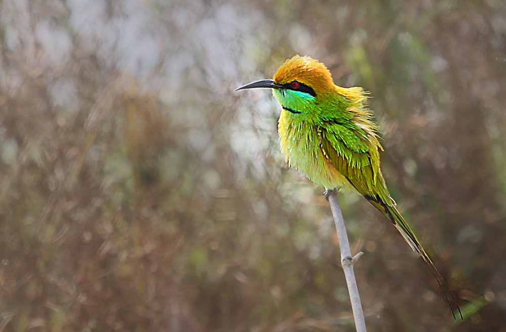 Photograph Green Bee eater..... by shibram nag on 500px