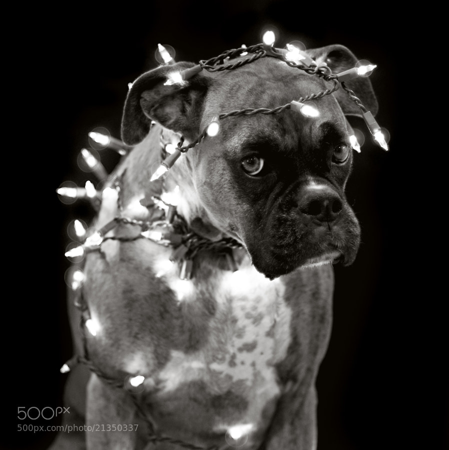 """An animal is for life, not just for Christmas  © Betina La Plante.  All rights reserved.  For prints, licensing, or any other use please contact betinalap@gmail.com  <a href=""""http://www.facebook.com/BetinaLaPlante"""">Facebook</a> / <a href=""""https://twitter.com/BetinaLaPlante"""">Twitter</a> / <a href=""""http://www.flickr.com/photos/betinalaplante/"""">Flickr</a>"""
