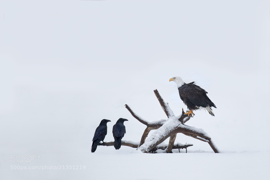 Photograph Bald Eagle and Ravens by Matthew Studebaker on 500px