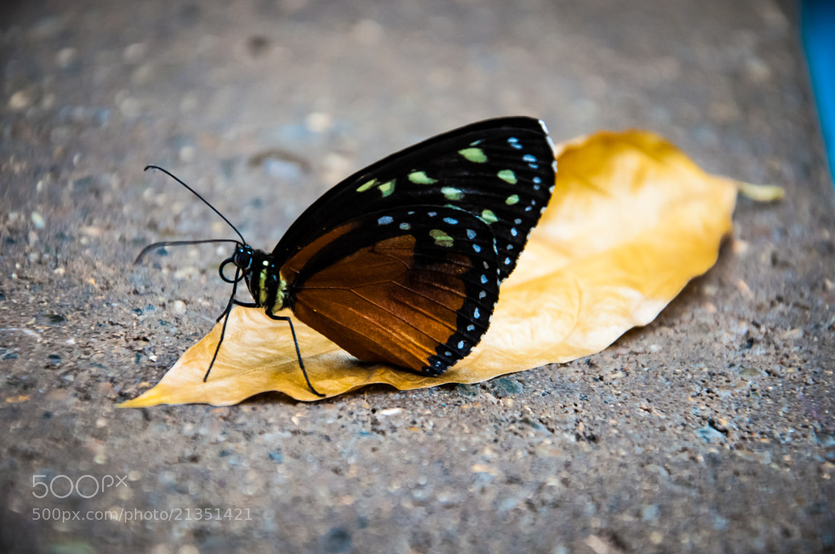 Photograph Monarch 1 by Nick Tsouroullis on 500px