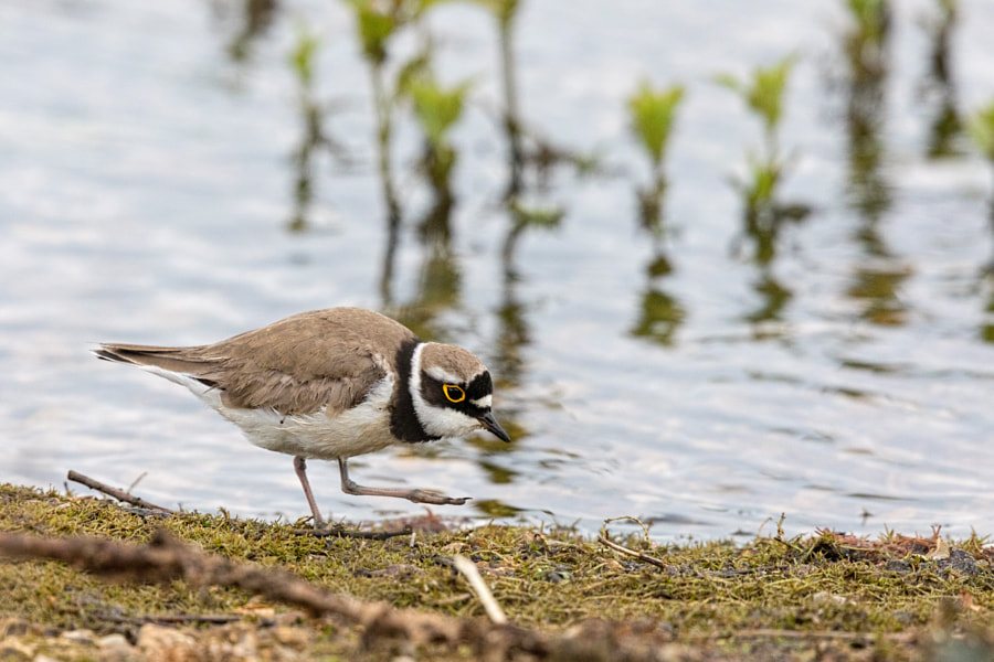 Little Ringed Plover by Chris Atkinson on 500px.com