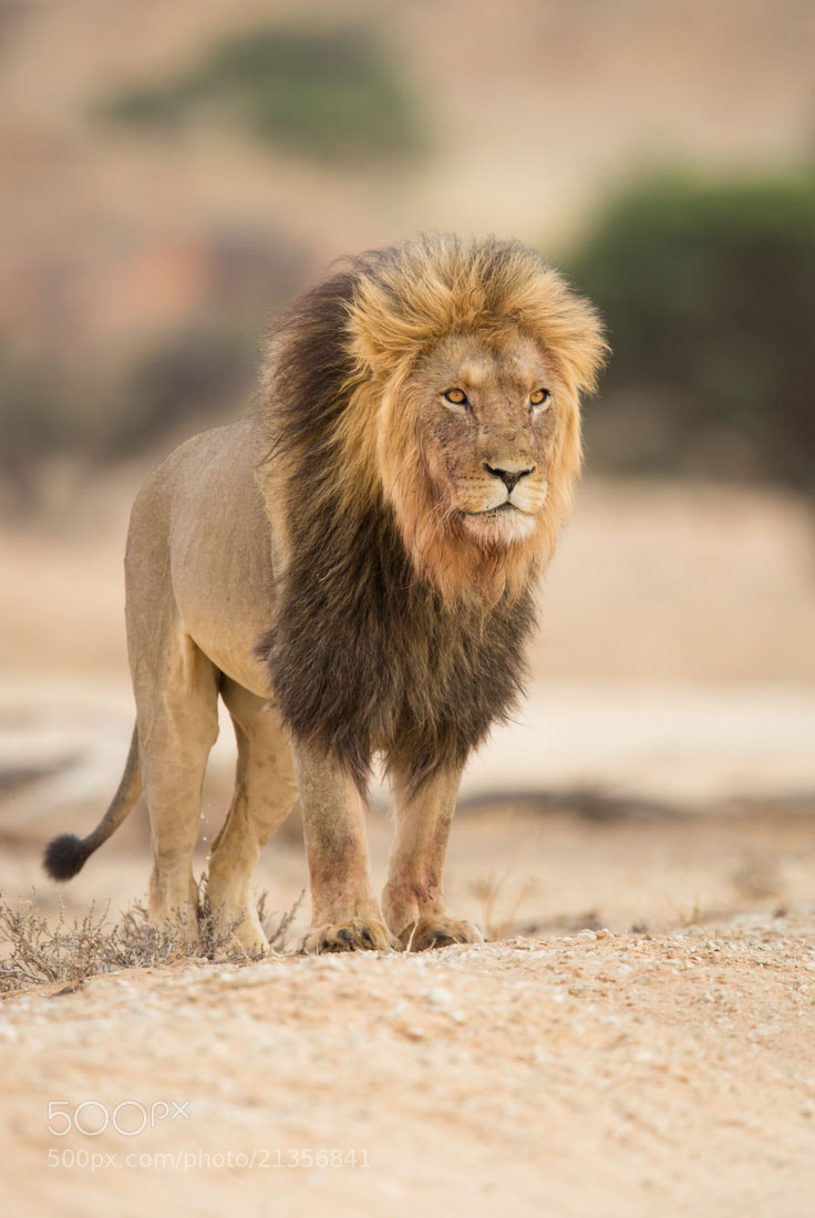 Photograph Aslan of Narnia by Marlon du Toit on 500px
