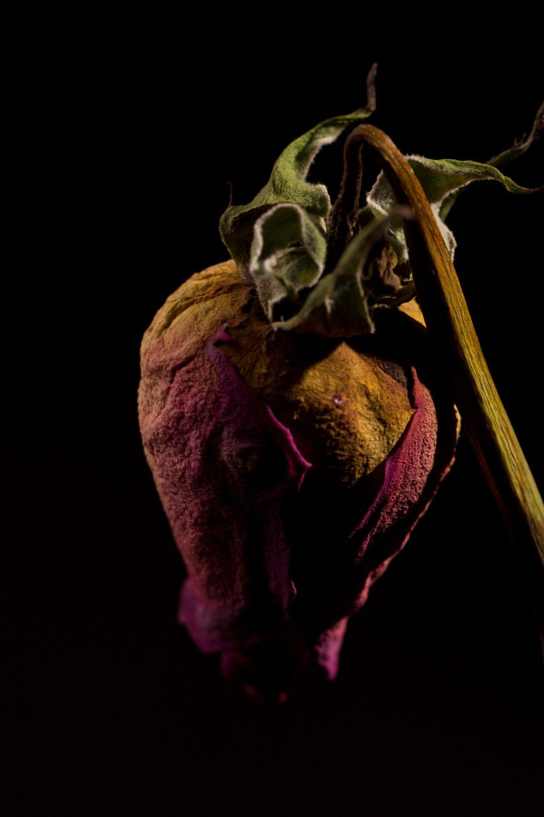 Photograph My Time Has Gone: A Death Rose by Jino  on 500px