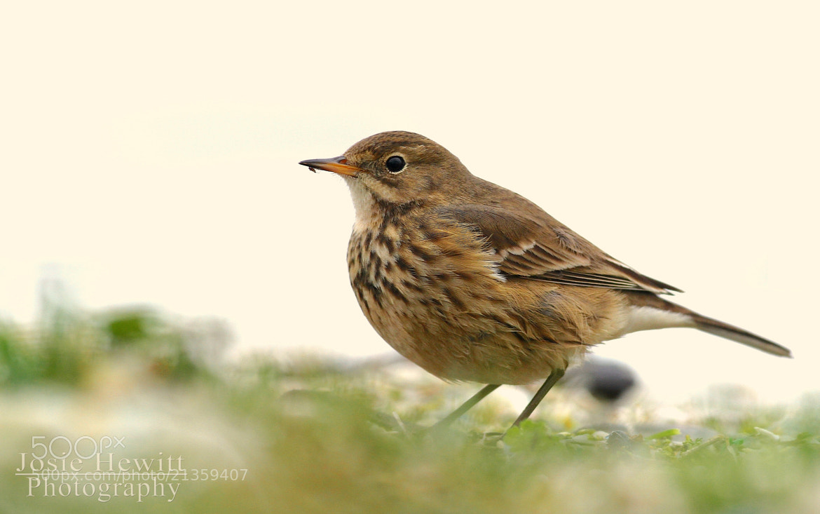Photograph American Buff-bellied Pipit by Josie Hewitt on 500px