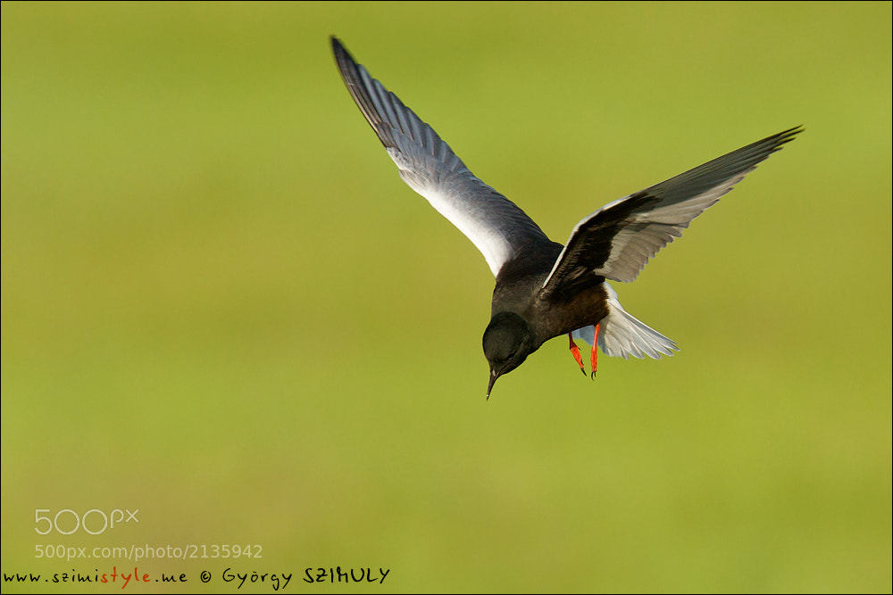 Photograph White-winged Tern (Chlidonias leucopterus) by Gyorgy Szimuly on 500px