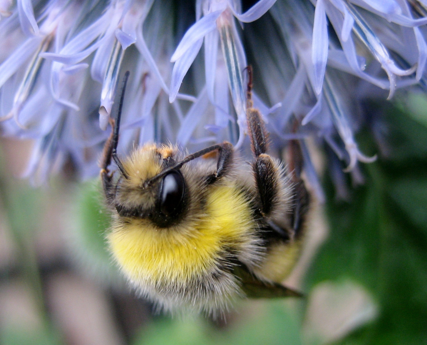Photograph Bumble Bee on thistle by Niall Mckelvie on 500px