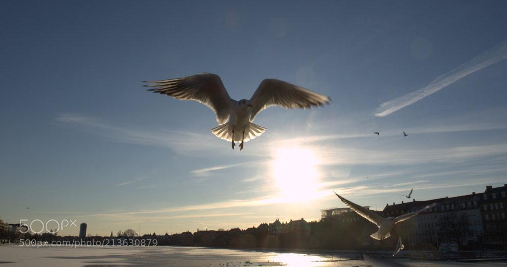 Birds in Copenhagen