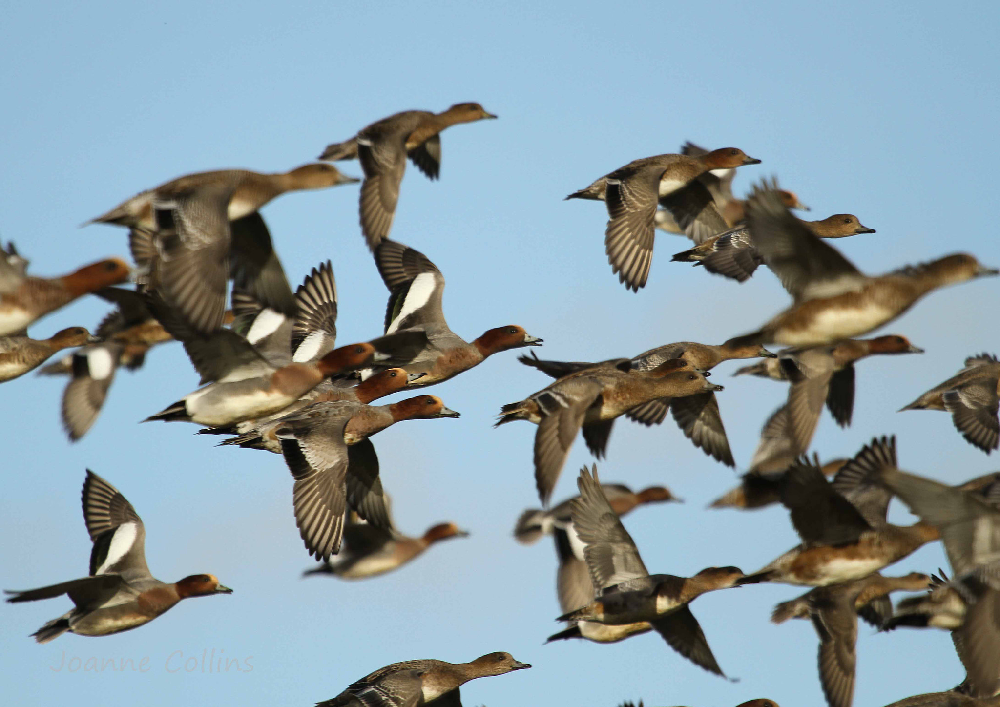 Photograph Wigeon in Flight by Jo  Collins on 500px
