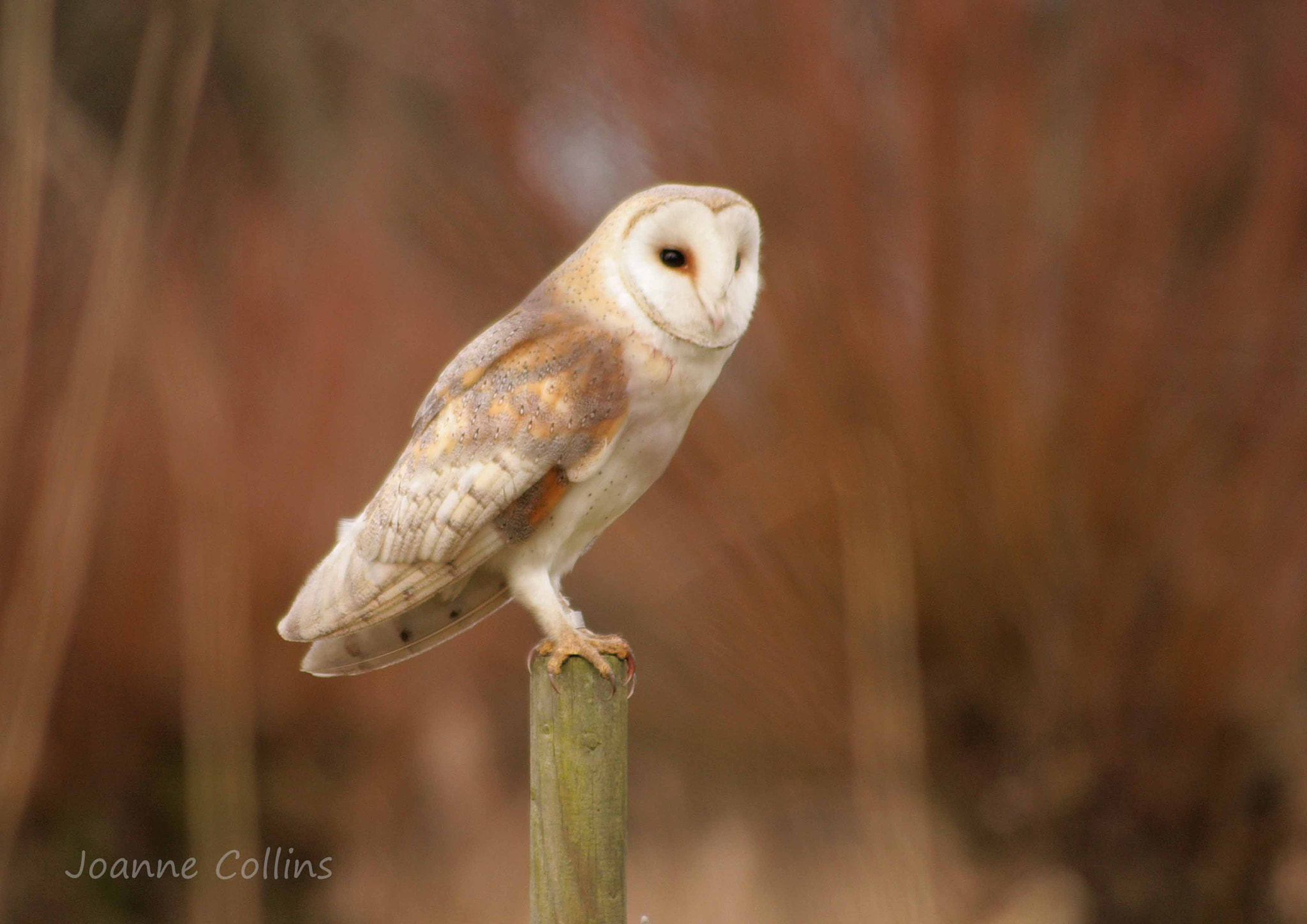 Photograph Barn Owl by Jo  Collins on 500px