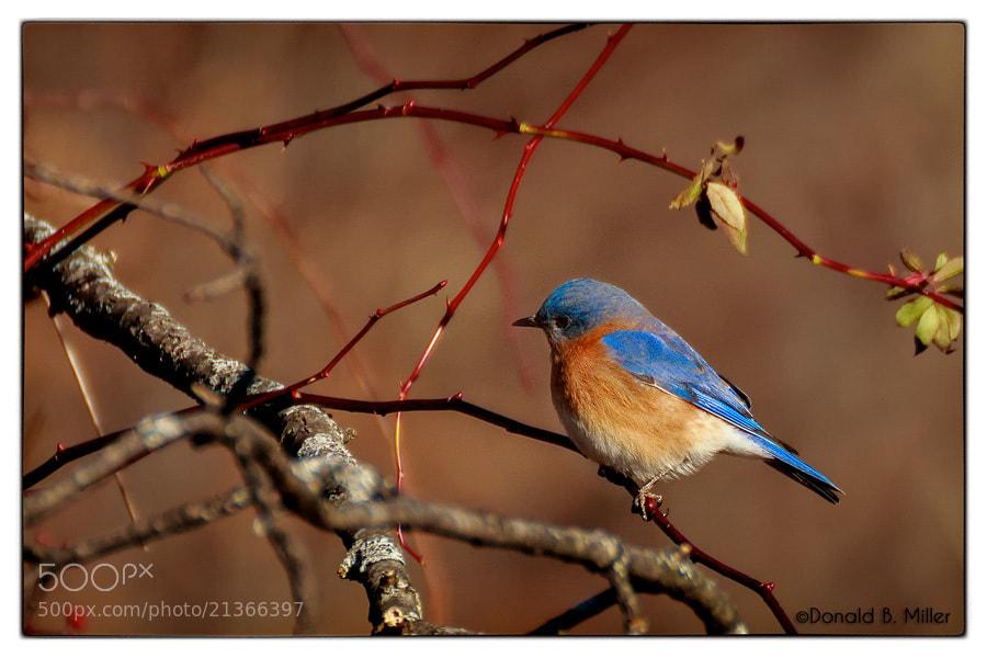 Photograph Blue Bird by Donald Miller on 500px