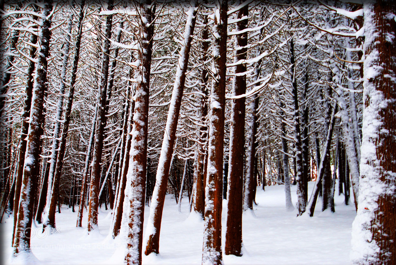 Photograph Snow on Cedars by cheryl rendino on 500px