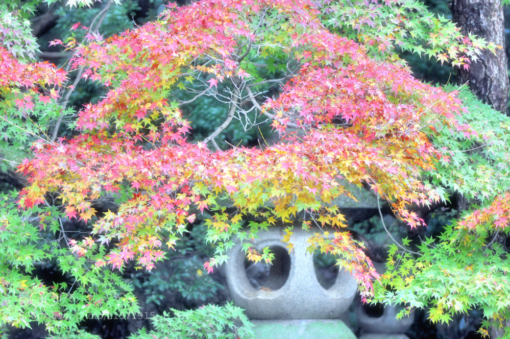 Photograph maple by keiji 403 on 500px