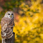 Barred Owl turning head to listen to something behind him.