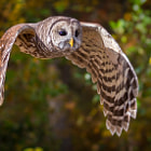 Young Barred Owl in flight.  Sorry about the last upload.  I had limited my export to 500px.  Hopefully this one shows a little better.