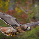 Red Tail Hawk with pin straw in it's claws