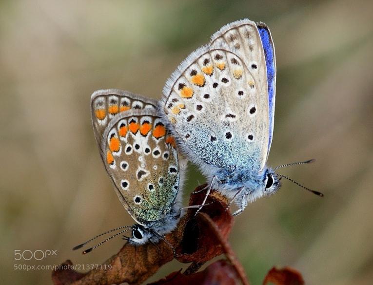Photograph Çok Gözlü Mavi - ( Polyommatus Icarus )  by Haydar AŞIGÜL on 500px