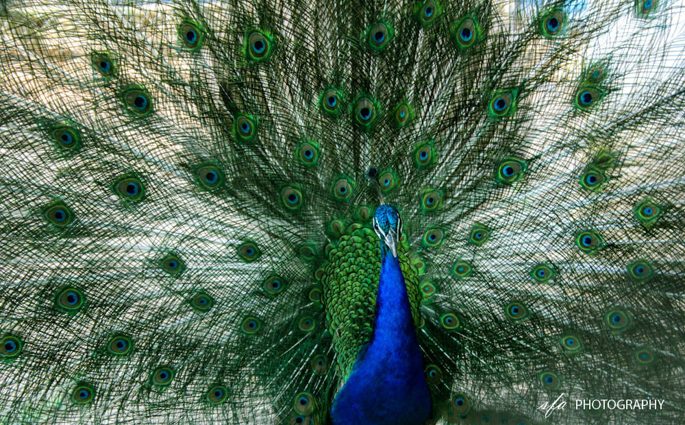Photograph Indian Peafowl by SFA Photographer on 500px