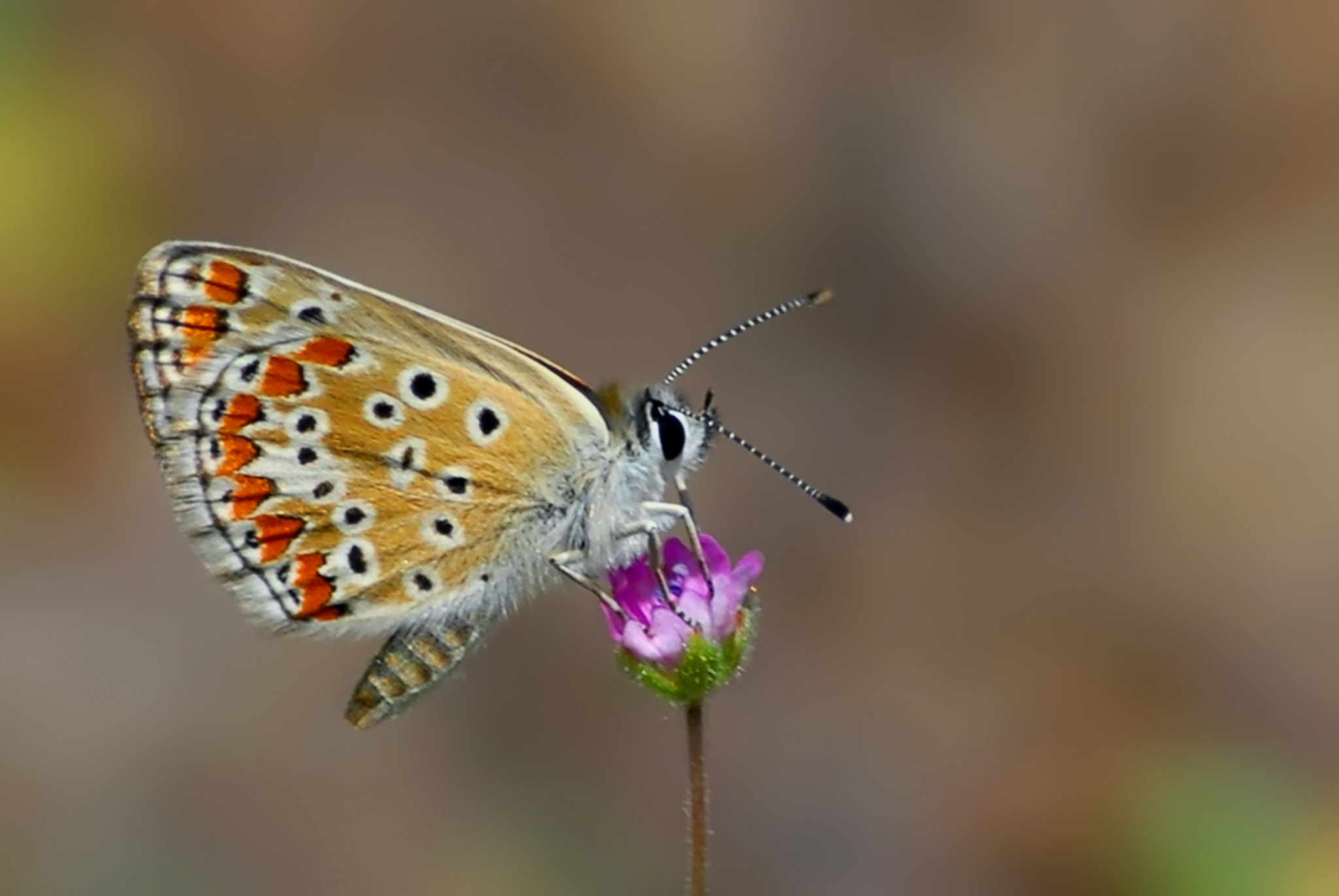 Photograph Polyommatus agestis by ilker kursun on 500px