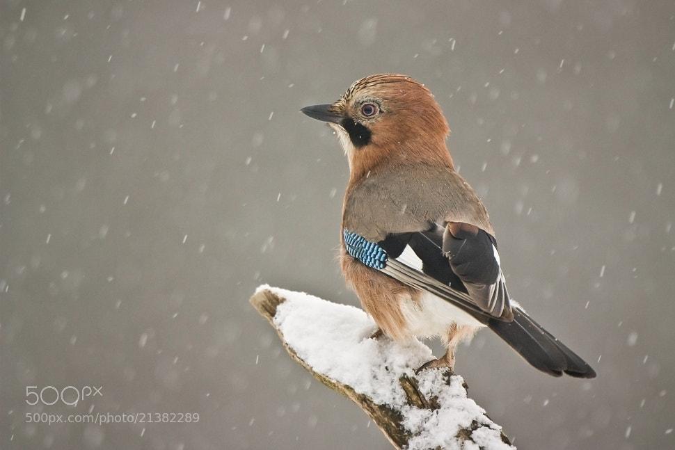 Photograph Eurasian Jay by Jakub Mrocek on 500px