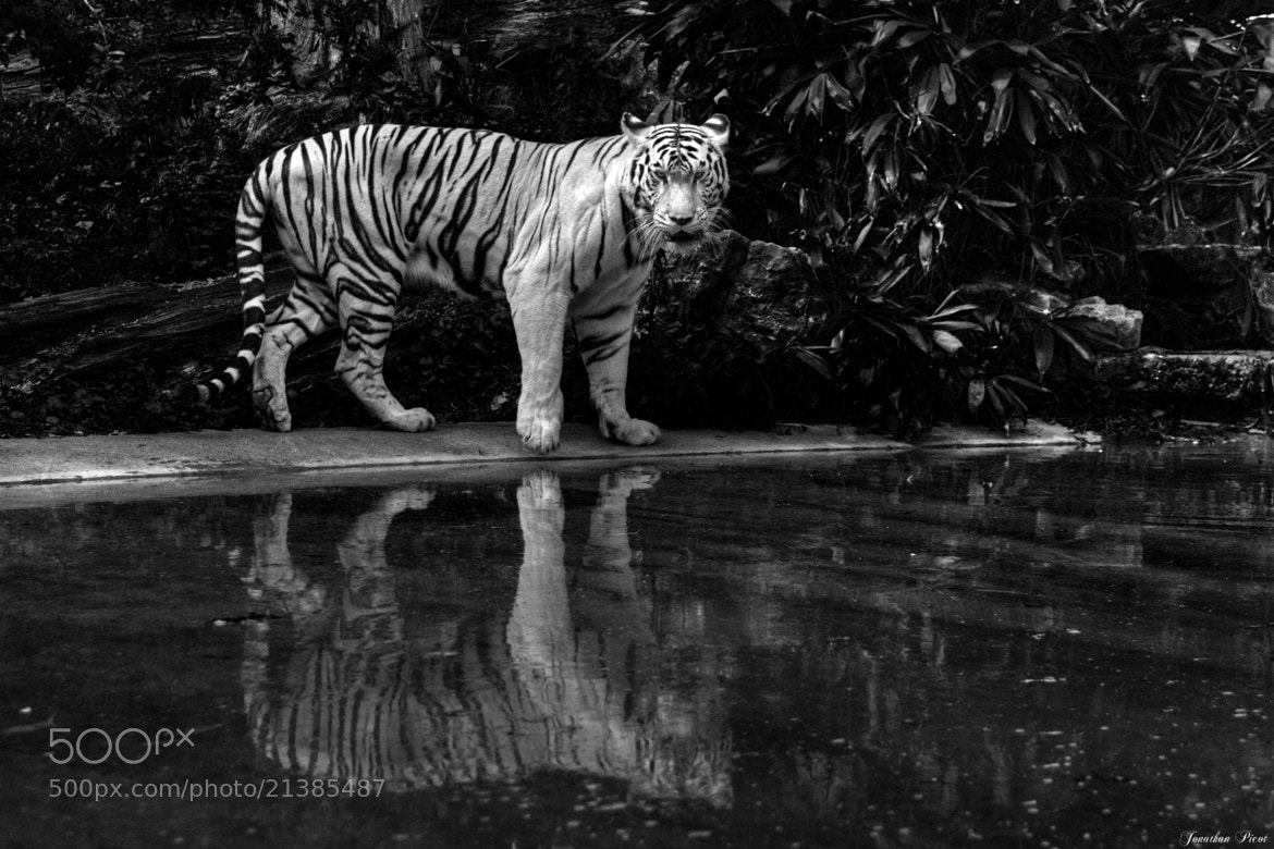 Photograph ...Tigre blanc... by Jonathan  on 500px
