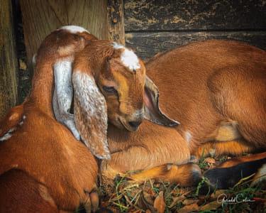Baby Goats - Cuddles I