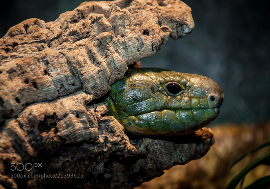 Prehensile-tailed skink, a lizard native to the Solomon and Papua New Guinea Islands.
