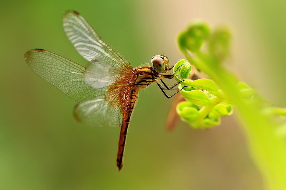 Photograph Dragonfly by Vincentius Ferdinand on 500px
